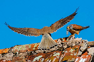 Common kestrel (Falco tinnunculus) male bringing prey to female on roof, France.  -  Klein & Hubert
