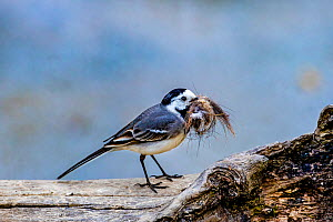 White wagtail (Motacilla alba) on stump collecting fur to line nest, France.  -  Klein & Hubert