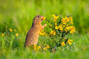 European ground squirrel / Souslik (Spermophius citellus) eating flowers of Broom (Cytisus sp) , Hungary  -  Klein & Hubert