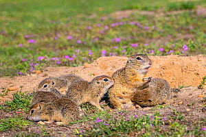 European ground squirrel / Souslik (Spermophius citellus) female and her young, age four weeks, on burrow in spring.Hungary  -  Klein & Hubert