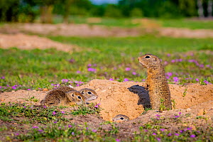 European ground squirrel / Souslik (Spermophius citellus) female and her young age four, on burrow in spring , Hungary  -  Klein & Hubert