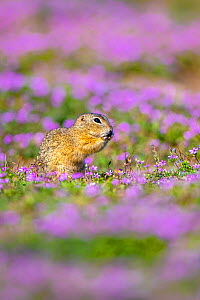 European ground squirrel / Souslik (Spermophius citellus) eating in a carpet of flowers of Stork's bill (Erodium cicutarium) , Hungary  -  Klein & Hubert