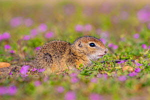 European ground squirrel / Souslik (Spermophius citellus) young age four weeks, in flowers of Stork's bill (Erodium cicutarium), Hungary  -  Klein & Hubert
