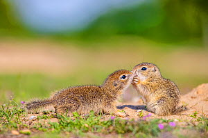 European ground squirrel / Souslik (Spermophius citellus) young, age four in spring, one sniffing the other to know what he's feeding on , Hungary  -  Klein & Hubert