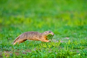 European ground squirrel / Souslik (Spermophilus citellus) female running with mouth full of grass to feed her babies in their burrow , Hungary  -  Klein & Hubert