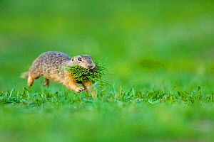 European ground squirrel / Souslik (Spermophilus citellus) female running with mouth full of grass to feed her babies in their burrow, Hungary  -  Klein & Hubert
