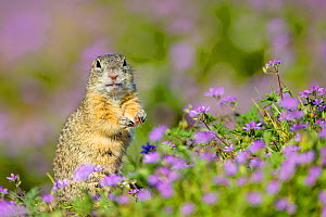 European ground squirrel / Souslik (Spermophius citellus) standing in a carpet of flowers of Stork's bill (Erodium cicutarium) , Hungary  -  Klein & Hubert