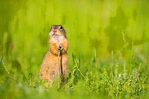 European ground squirrel / Souslik (Spermophius citellus) eating a stem of Dandelon (Taraxacum sp) , Hungary  -  Klein & Hubert