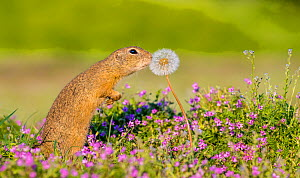 European ground squirrel / Souslik (Spermophius citellus) standing in a carpet of flowers of Stork's bill (Erodium cicutarium) and sniffing a Dandelon (Taraxacum sp) seedhead before eating it , Hungar...  -  Klein & Hubert