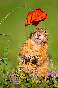 European ground squirrel / Souslik (Spermophius citellus) standing under a Poppy (Papaver rhoeas) flower, Hungary  -  Klein & Hubert
