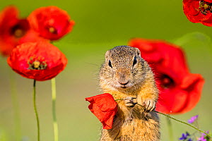 European ground squirrel / Souslik (Spermophius citellus) standing in a carpet of flowers of Stork's bill (Erodium cicutarium) and holding in his paws a Poppy (Papaver rhoeas) flower before eating it,...  -  Klein & Hubert