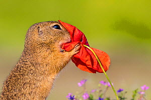 European ground squirrel / Souslik (Spermophius citellus) eating a Poppy (Papaver rhoeas) flower, Hungary  -  Klein & Hubert
