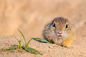 European ground squirrel / Souslik (Spermophius citellus) young, age four weeks, coming out of burrow for the first time in spring. Hungary  -  Klein & Hubert