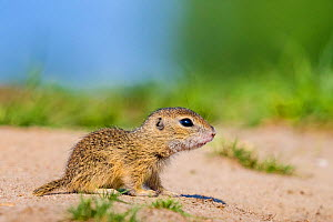 European ground squirrel / Souslik (Spermophius citellus) - young, age four weeks,coming out of burrow for the first time in spring , Hungary  -  Klein & Hubert