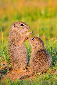 European ground squirrel / Souslik (Spermophius citellus) young, age one month facing each other, Hungary  -  Klein & Hubert