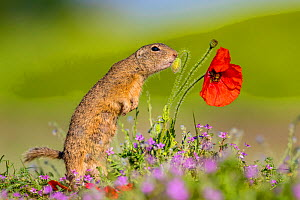 European ground squirrel / Souslik (Spermophius citellus) standing in a carpet of flowers of Stork's bill (Erodium cicutarium) and sniffing a Poppy (Papaver rhoeas) bud in before eating it , Hungary  -  Klein & Hubert