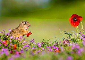European ground squirrel / Souslik (Spermophius citellus) standing in a carpet of flowers of Stork's bill (Erodium cicutarium) and eating petals of a Poppy (Papaver rhoeas) flower , Hungary  -  Klein & Hubert