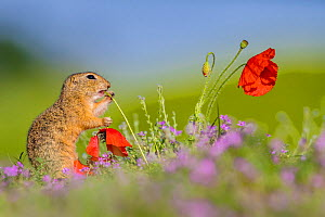 European ground squirrel / Souslik (Spermophius citellus) standing in a carpet of flowers of Stork's bill (Erodium cicutarium) and eating the stem of a Poppy (Papaver rhoeas) and holding the flower in...  -  Klein & Hubert
