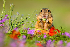European ground squirrel / Souslik (Spermophius citellus) standing in a carpet of flowers of Stork's bill (Erodium cicutarium) and eating a Poppy (Papaver rhoeas) capsule , Hungary  -  Klein & Hubert