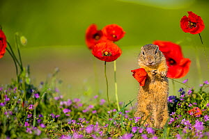 European ground squirrel / Souslik (Spermophius citellus) standing in a carpet of flowers of Stork's bill (Erodium cicutarium) and holding a Poppy (Papaver rhoeas) flower before eating it, Hungary  -  Klein & Hubert