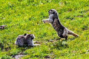 Pallas' cat (Otocolobus manul) two kittens playing on a grassy slope, Mongolia  -  Klein & Hubert