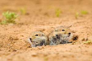 Brandt's vole (Microtus brandti) two juveniles at burrow entrance, Mongolia.  -  Klein & Hubert