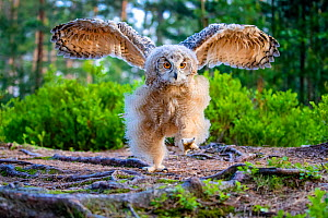 Eurasian eagle owl (Bubo bubo) chick in pine forest in spring, exercising wings, France. Controlled conditions.  -  Klein & Hubert