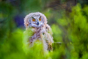 Eurasian eagle owl (Bubo bubo) chick in blueberry shrubs in pine forest in spring, France. Controlled conditions. - Klein & Hubert