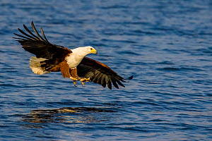 African fish eagle (Haliaeetus vocifer) flying over river for catching fish, Chobe National Park, Botswana Sequence 1/2.  -  Klein & Hubert