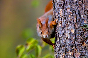 Red squirrel (Sciurus vulgaris) climbing on a larch trunk in autumn, Austria. - Klein & Hubert