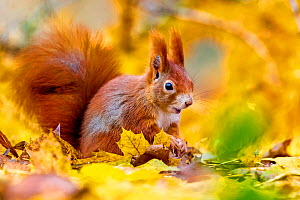 Red squirrel (Sciurus vulgaris) in fall leaves and larch branches on forest ground in autumn, Austria. - Klein & Hubert