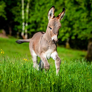 Provence donkey foal age one week running in a meadow in spring, France.  -  Klein & Hubert