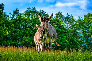 Provence donkey foal age one week walking against his his mother in a meadow in spring, France. - Klein & Hubert