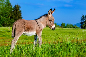 Provence donkey foal age one week standing in a meadow in spring, France. - Klein & Hubert
