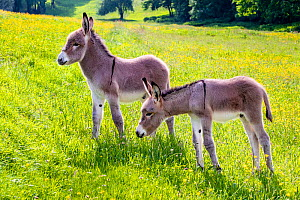 Two Provence donkey foals, one month old and one week old, making friends in a flowering meadow in spring, France.  -  Klein & Hubert