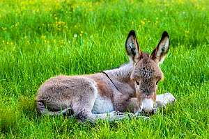 Provence donkey foal age one week lying in a meadow in spring, France. - Klein & Hubert