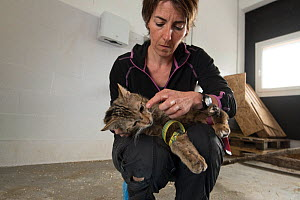 Woman vet specialized in working with wild mammals, treating an injured wild cat (Felis silvestris) that will be released back into the wild, Switzerland 2019  -  Laurent Geslin