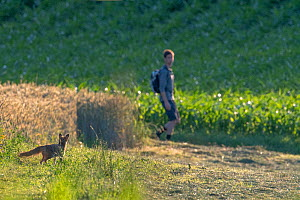 Red fox (Vulpes vulpes) in field with person walking past, summer, Switzerland  -  Laurent Geslin