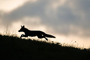 Red fox (Vulpes vulpes) silhouetted,  running along horizon, Switzerland  -  Laurent Geslin