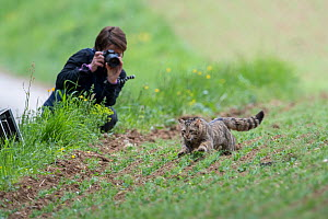 Scientist from KORA photographing Wild cat (Felis sylvestris) as it is released after a radio tracking collar has been fitted, Switzerland 2019  -  Laurent Geslin