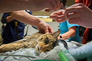 A wild cat (Felis silvestris) is checked and then fitted with a radio collar so that researchers from the university of Bern and KORA, Switzerland, can track its home range. The animal was released ba...  -  Laurent Geslin