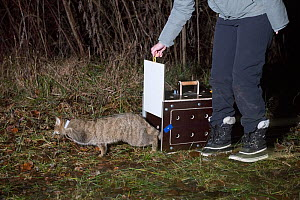 Wild cat (Felis silvestris) released by KORA scientist after fitting radio-tracking collar, Switzerland  -  Laurent Geslin