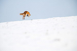Red fox (Vulpes vulpes) hunting, pouncing on rodent under the snow in winter, Jura, Switzerland  -  Laurent Geslin