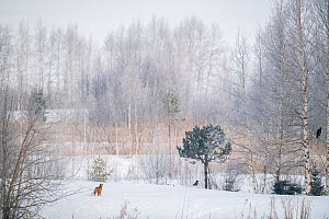 Red fox (Vulpes vulpes) in snowy landscape with trees and two Crows (Corfus corone) winter, Jura, Switzerland  -  Laurent Geslin