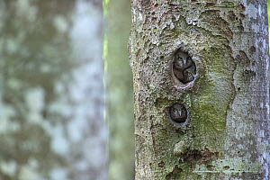 Boreal owl (Aegolius funereus) chicks looking out of their nest hole in tree, Switzerland  -  Laurent Geslin