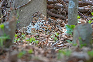 Hazel grouse (Tetrastes bonasia) with two newly hatched chicks, Switzerland  -  Laurent Geslin