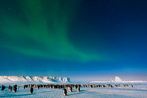 Emperor penguins (Aptenodytes fosteri) colony at night with Aurora Australis, Antarctica.  -  Stefan Christmann