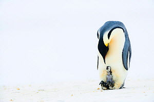 Emperor penguin (Aptenodytes forsteri) father with his newly-hatched chick which is begging for food, Atka Bay, Antarctica. August. Bookplate.  -  Stefan Christmann