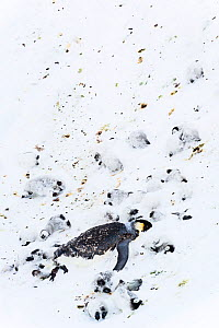 Emperor penguin (Aptenodytes forsteri) and chicks dead and frozen in ice after a snowstorm, Atka Bay, Antarctica. November. Bookplate.  -  Stefan Christmann