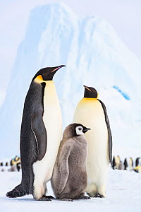 Emperor penguin (Aptenodytes fosteri) adults with their chick in front of the colony, Atka Bay, Antarctica. December. Bookplate.  -  Stefan Christmann